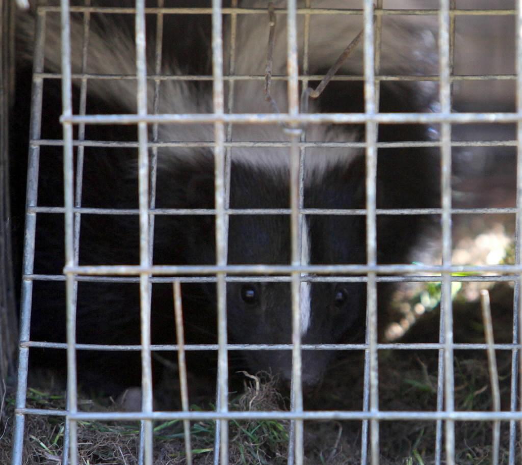 Skunk-18649105