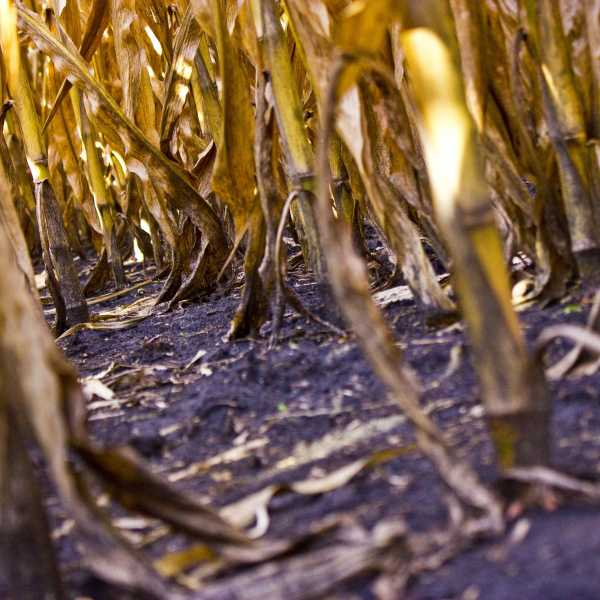 061Woodfield_REV-cornstalks2