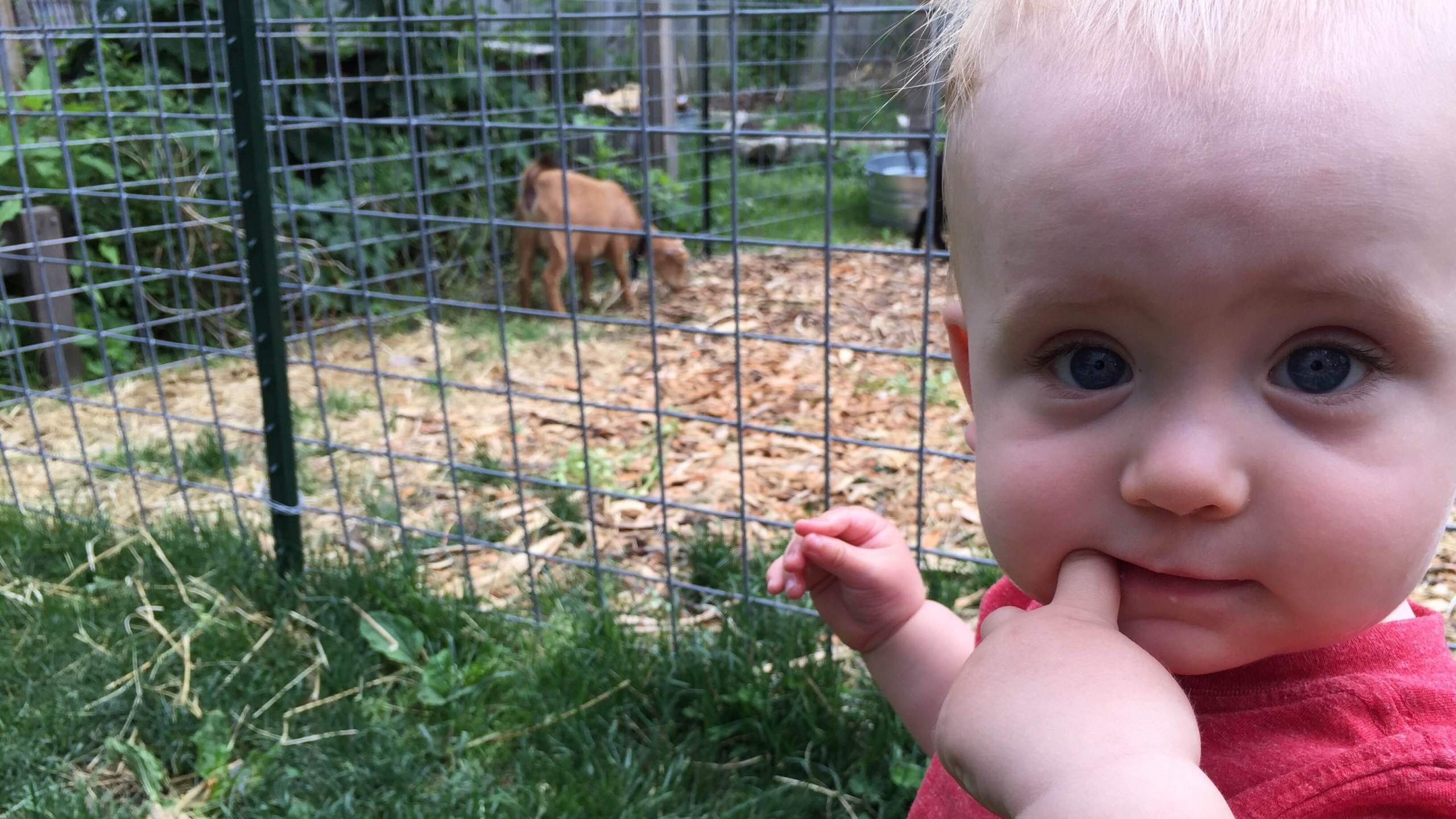OTL host Mike Stephen III's son Mike Stephen IV is impressed with the goat roaming The Farmessori grounds of the Near North Montessori School.