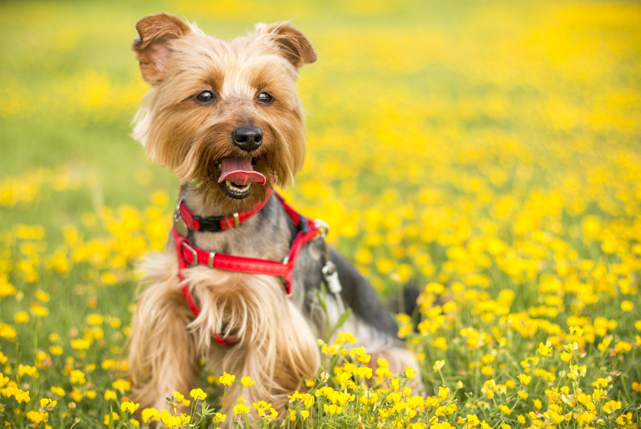 Mason Vera Paine, Yorkshire Terrier, Pet, Allergies, Dr Judy Morgan, MVPShow