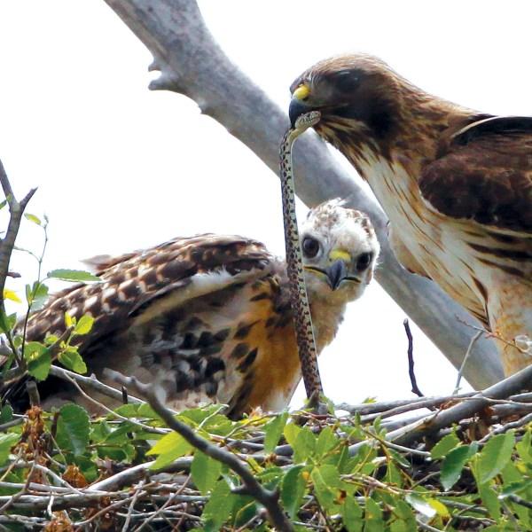 Redtail Hawk, Rocky Mountain Wildlife Refuge